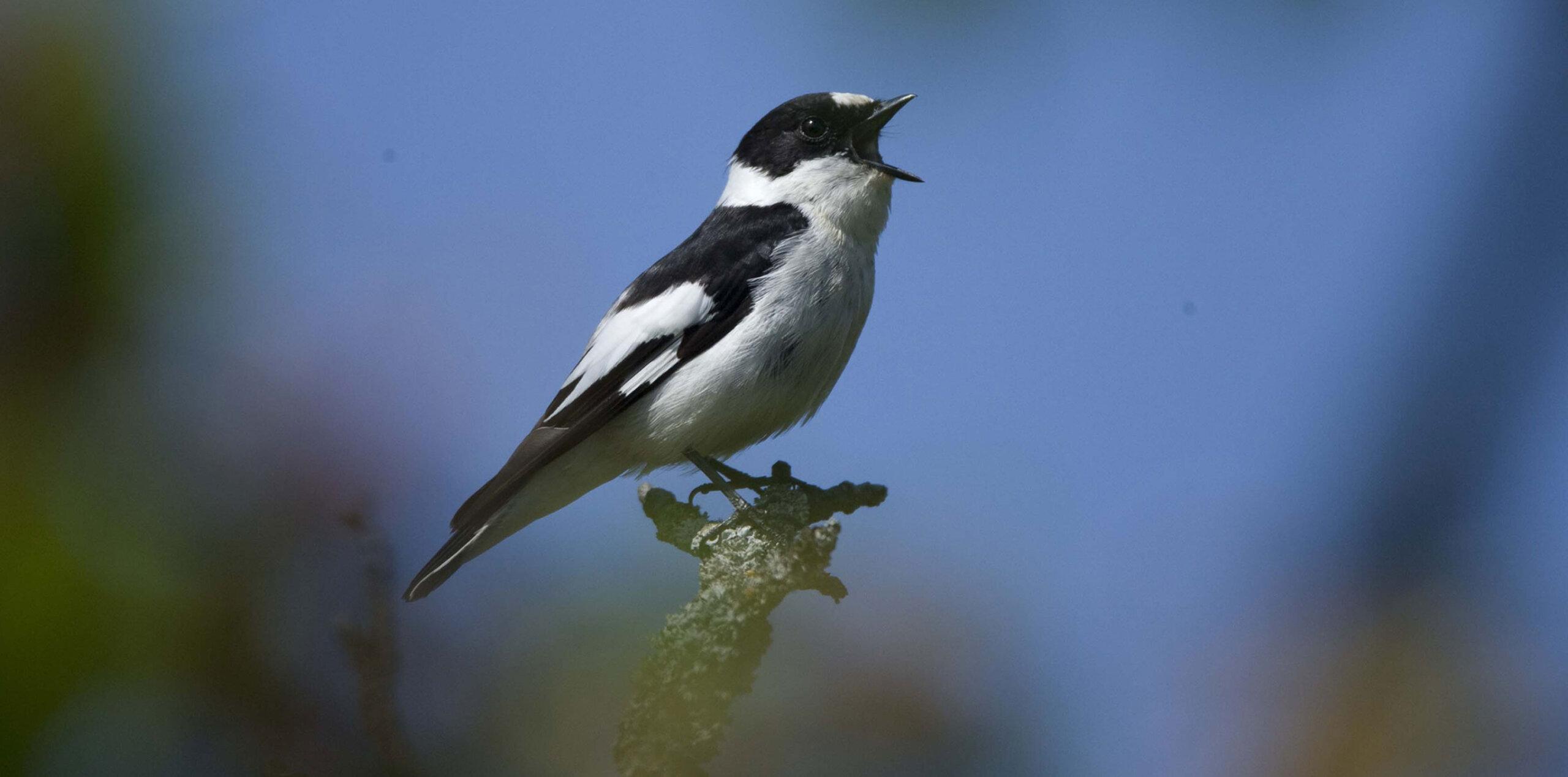 Vogel singend